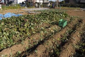 サツマイモの畑での実り方を知るため、ツルを残している